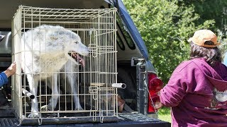 This Lonely Wolf Was Caged In A Roadside Zoo For Years  Then He Finally Saw A Friendly Face