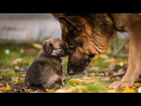 Funny and Cute German Shepherd Puppies Compilation #3 - Funniest GSD