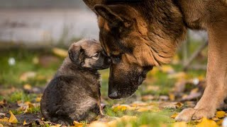Funny and Cute German Shepherd Puppies Compilation #3  Funniest GSD