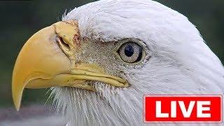 Southwest Florida Eagle Cam thumbnail