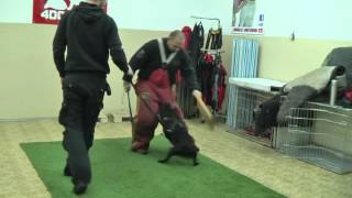 Staffordshire Bullterrier - Puppy Protection Work At 4dogs.cz Dog School
