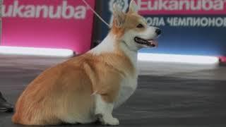 видео Приучение собаки к движению рядом с дрессировщиком