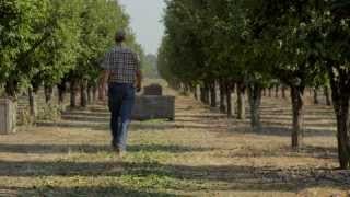 Growing California Dried Plums (Prunes) | B-Roll