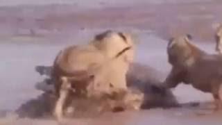 Lwy pokiereszowania Buffalo stada rogi bawole bez strachu przed turystami