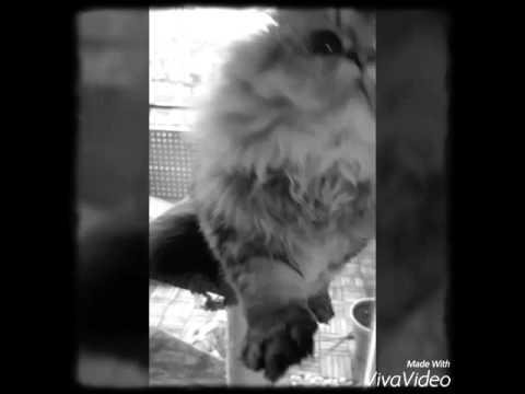 Dobby just wants a kiss  (persian cat ) ♡