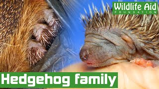 CUTE family of hedgehogs uncovered in a shed!