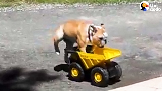 Bulldog Loves Jumping Into His Toy Truck