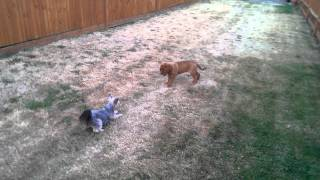 Dogue De Bordeaux Meets Yorkshire Terrier For The First Time