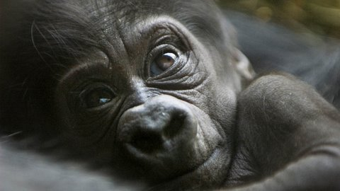 Brand new Cute Baby Gorilla! - YouTube