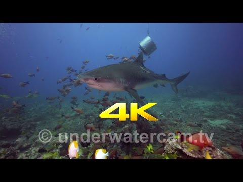 4K video of Tiger Shark in Tahiti at the White Valley