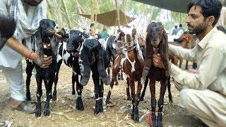 High Quality Beauty Size Sab Aik Sath K Bakriyaan - Goats For Sale Sahiwal Bakra