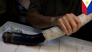 Cacing kapal raksasa langka ditemukan di Filipina - Tomonews