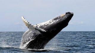 9 Fakta Ikan Paus !! Muntahannya Bisa Laku 3,3 Miliar Bikin Kaya Mendadak