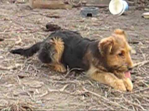 german shepherd & airedale terrier mix - YouTube