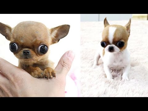 Cutest Teacup Chihuahua Puppies ❤ Funny Chihuahua Dog Video Compilation