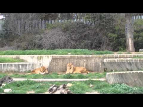 Leopard tiger at Madrid zoo