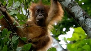 Baby Orangutan has strong bond with mum - Animal Super Parents: Episode 1 Preview - BBC One