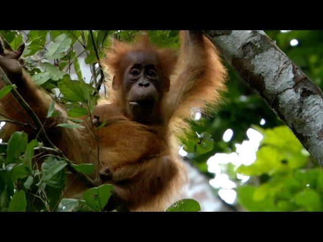 Baby Orangutan has strong bond with mum – Animal Super Parents: Episode 1 Preview – BBC One