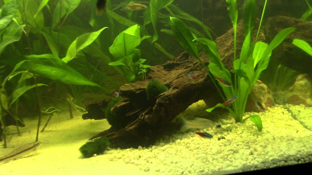 Neon tetra for sale aquariumfish net - Neon Tetra For Sale Aquariumfish Net 45