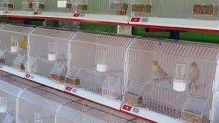 كيف تبدأ تربية طيور الكناري