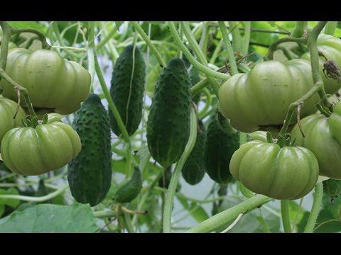 Правила совместных посадок овощей | выращивание | совместно | теплице | томаты | огурцы | огород | грядке | рядом | перцы | одной