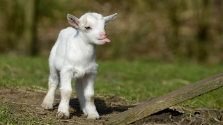 Most Funny and Cute Baby Goat Videos 2017 thumbnail