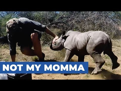 Protective Baby Rhino Guards Mother During Toe Treatment