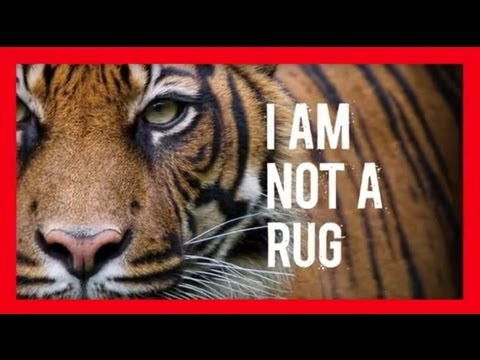 Stop Wildlife Crime: The Series - Tigers (Video 3) | WWF