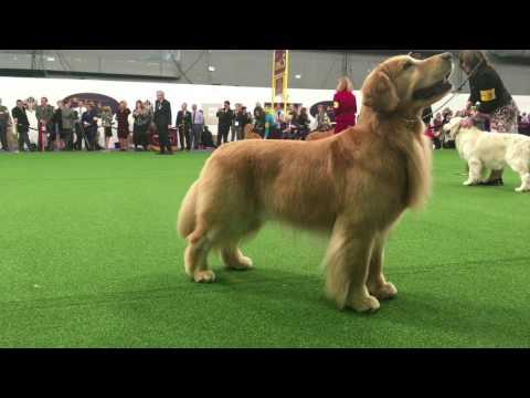 Golden Retriever Waiting For Treat - Westminster Dog Show
