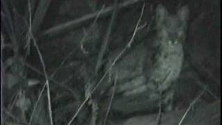 Florida Bobcat caught on video at night by David Barkasy