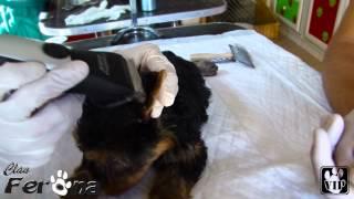 Como Encintar Las Orejas De Un Cachorro Para Correjir El Cartilago By Clan Ferona