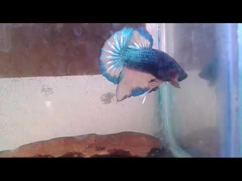 Ikan Cupang Dengan Warna Unik ... - YouTube