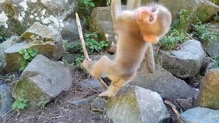 夏の地獄谷野猿公苑の二頭の子猿の動画です。