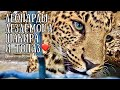 Поделки - Леопарды - Дездемона, Шакира и Топаз