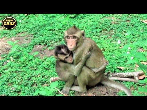 Breaking Baby Monkey So Scare...Angkor Daily 501