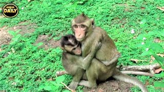 Breaking Baby Monkey So Scare...Angkor Daily 501