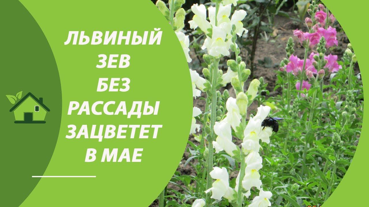 Выращиваю цветы ЛЬВИНЫЙ ЗЕВ БЕЗ РАССАДЫ 💐— Мой львиный зев ...