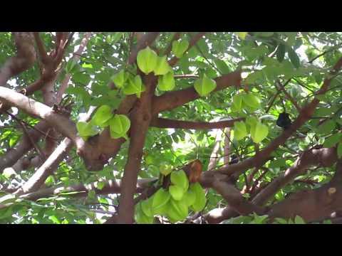 Starfruit Tree Loaded