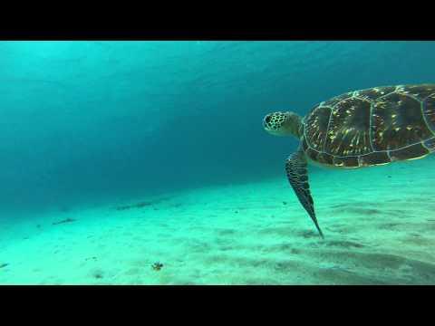 Tortue verte Martinique - Anse Dufour - Plongée libre