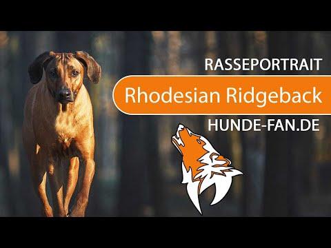 Rhodesian Ridgeback [2018] Rasse, Aussehen & Charakter