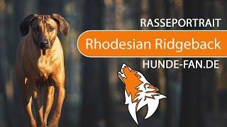 Rhodesian Ridgeback [2018] Breed, Appearance & Character