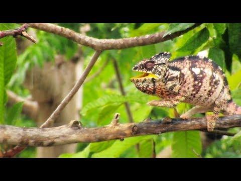 Veiled Chameleon In Rain 01