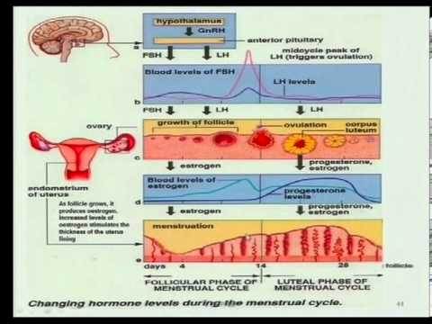 Matric revision life sciences menstrual cycle youtube matric revision life sciences menstrual cycle ccuart Image collections
