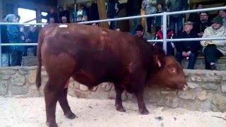 Dražba býka - Cunkov 2016 - ASTERIX RED TopAngus