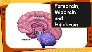 Biology - Important parts of brain and their functions - Control and coordination - Part 3 – English
