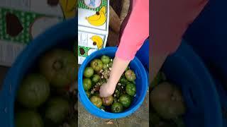 Зелёные бочковые помидоры. Рецепт.