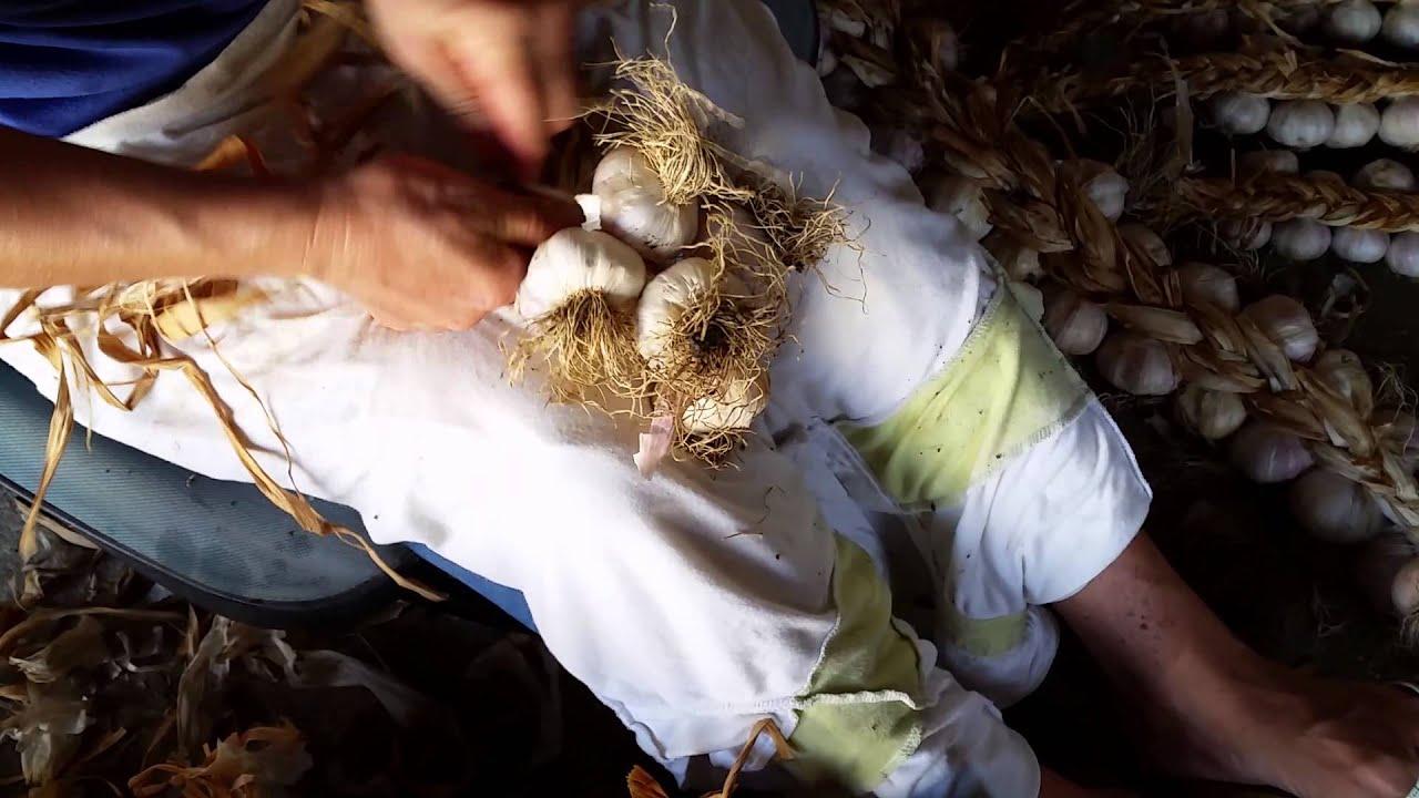 Come si intreccia l 39 aglio youtube for Quando si pianta l aglio