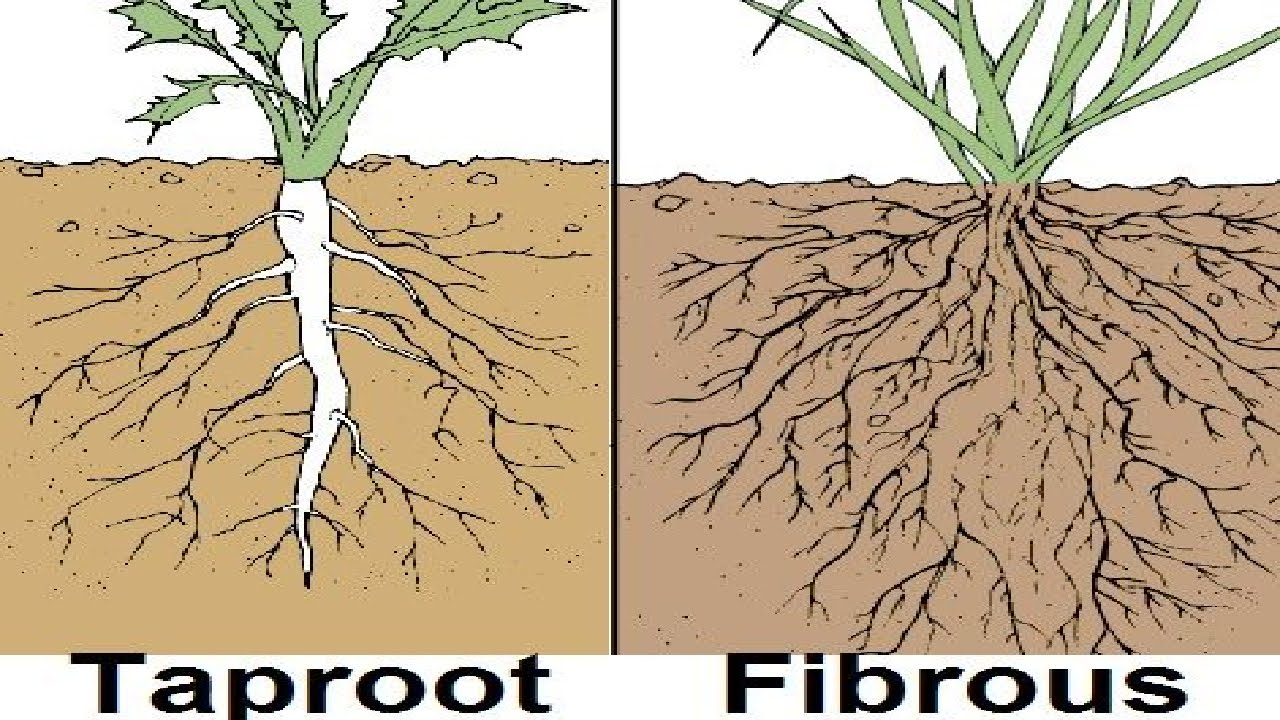 So Reticulate Venation Is Found In Dicot Plants Which Also Have Tap Roots