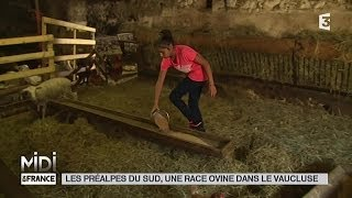 ANIMAUX : Les Préalpes du Sud, une race ovine dans le Vaucluse