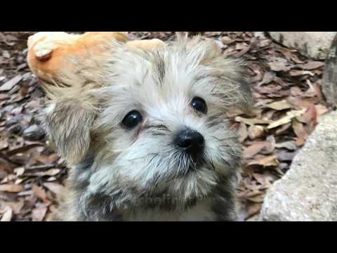 Morkie Pups for Sale - Versatility Training with Micheline